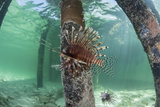 A Lionfish Swims Beneath a Pier Off the Coast of Belize Photographic Print by  Stocktrek Images