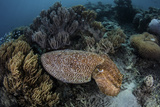 A Broadclub Cuttlefish Swims Above a Diverse Reef in Indonesia Photographic Print by  Stocktrek Images