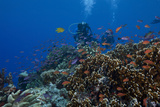 Diver and Schooling Anthias Fish and Healthy Corals of Beqa Lagoon, Fiji Photographic Print by  Stocktrek Images