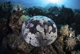 A Pin Cushion Starfish Clings to a Coral Reef Photographic Print by  Stocktrek Images
