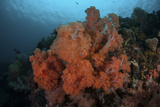 Vibrant Soft Corals Thrive on a Deep Reef in Indonesia Photographic Print by  Stocktrek Images