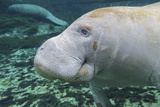 A Close-Up Head Profile of a Manatee in Fanning Springs State Park, Florida Photographic Print by  Stocktrek Images