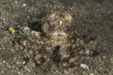 A Young Day Octopus on Black Volcanic Sand Photographic Print by  Stocktrek Images