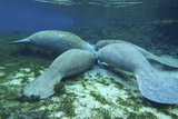 Manatees Congregate to Feed on Algae at Fanning Springs State Park, Florida Photographic Print by  Stocktrek Images