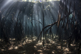 Beams of Sunlight Filter Among the Prop Roots of a Mangrove Forest Photographic Print by  Stocktrek Images