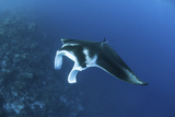 A Reef Manta Ray Swims Past a Coral Reef in the Solomon Islands Photographic Print by  Stocktrek Images