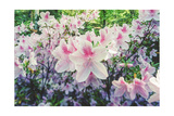 Azaleas 5 Photographic Print by Henri Silberman