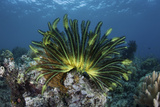 A Colorful Crinoid Clings to a Reef Near the Island of Flores in Indonesia Photographic Print by  Stocktrek Images