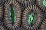 Detail of Coral Polyps on a Reef in Lembeh Strait Photographic Print by  Stocktrek Images