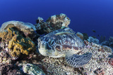 A Large Green Sea Turtle Lays on the Reef Near Sulawesi, Indonesia Photographic Print by  Stocktrek Images