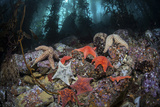 Colorful Starfish Cover the Bottom of a Giant Kelp Forest Photographic Print by  Stocktrek Images