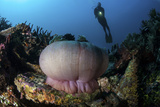 A Diver Hovers Above a Magnificent Sea Anemone in Indonesia Photographic Print by  Stocktrek Images