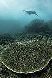 A Manta Ray Swimming Through a Current-Swept Channel in Indonesia Photographic Print by  Stocktrek Images