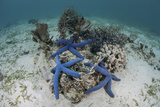 Blue Starfish Cling to a Coral Bommie in Indonesia Photographic Print by  Stocktrek Images
