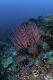 A Colony of Sea Whips Grows on a Coral Reef in Indonesia Photographic Print by  Stocktrek Images