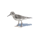 Sandpiper on White II Posters by Walt Johnson