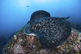 A Large Black-Blotched Stingray Swims over the Rocky Seafloor Photographic Print by  Stocktrek Images