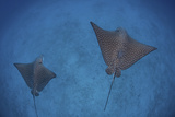 Spotted Eagle Rays Swim over the Seafloor Near Cocos Island, Costa Rica Fotografisk tryk af Stocktrek Images