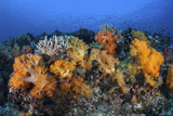 Beautiful Soft Coral Colonies on a Coral Reef in Indonesia Photographic Print by  Stocktrek Images