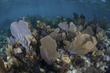 Gorgonians Grow in Shallow Water Off Turneffe Atoll in Belize Photographic Print by  Stocktrek Images