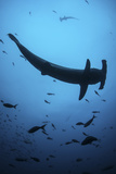 A Scalloped Hammerhead Shark Swims Near Cocos Island, Costa Rica Photographic Print by  Stocktrek Images