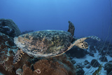 A Hawksbill Sea Turtle Swims over a Coral Reef in Palau Photographic Print by  Stocktrek Images