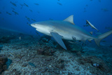 A Large Bull Shark at the Bistro Dive Site in Fiji Photographic Print by  Stocktrek Images