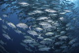 Schooling Bigeye Jacks Near Cocos Island, Costa Rica Photographic Print by  Stocktrek Images