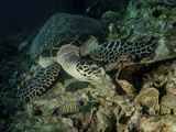 Hawksbill Sea Turtle Feeding, Bunaken Marine Park, Indonesia Photographic Print by  Stocktrek Images