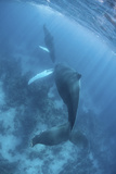 A Humpback Whale and Her Calf in the Caribbean Sea Photographic Print by  Stocktrek Images