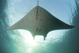 A Manta Ray Swims into the Sun in the Tropical Pacific Ocean Fotodruck von  Stocktrek Images