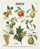 Fruits II Collectable Print by  Deyrolle