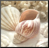 Coral Shell II Mounted Print by Donna Geissler