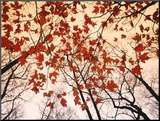 Red Maple and Autumn Sky Mounted Print by Raymond Gehman