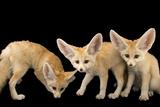 Three, Ten Week Old Fennec Fox Kits, Vulpes Zerda, at the Saint Louis Zoo. Fotografisk tryk af Joel Sartore