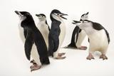 Five Chinstrap Penguins, Pygoscelis Antarctica, at the Newport Aquarium. Fotografisk tryk af Joel Sartore