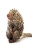 A Brazilian Porcupine, Coendou Prehensilis, at the Saint Louis Zoo. Photographic Print by Joel Sartore