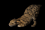 A Federally Endangered Clouded Leopard, Neofelis Nebulosa, at Houston Zoo. Fotografisk tryk af Joel Sartore