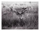 Velvet Antlers I Prints by Joe Reynolds