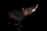 An Endangered Mountain Tapir, Tapirus Pinchaque, at the Los Angeles Zoo. Photographic Print by Joel Sartore