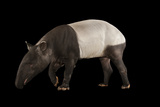 Endangered Malayan Tapir, Acrocodia Indica, at the Omaha Henry Doorly Zoo. Fotografisk tryk af Joel Sartore