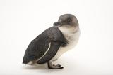 A Little Blue Penguin, Eudyptula Minor, at Spca Bird Wing, a Bird Rehab Center. Fotografisk tryk af Joel Sartore