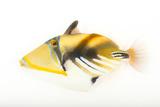 A Lagoon Triggerfish, Rhinecanthus Aculeatus, at Pure Aquariums. Fotografisk tryk af Joel Sartore