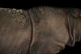 An Critically Endangered Sumatran Rhino, Dicerorhinus Sumatrensis. Fotografisk tryk af Joel Sartore