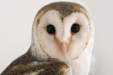An Australian Barn Owl, Tyto Delicatula, at Healesville Sanctuary. Fotografisk tryk af Joel Sartore