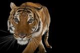 An Endangered Malayan Tiger, Panthera Tigris Jacksoni, at Omaha Henry Doorly Zoo. Fotografisk tryk af Joel Sartore