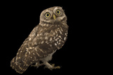 A Little Owl, Athene Noctua, from the Budapest Zoo. Fotografisk tryk af Joel Sartore