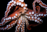 An Octopus, Octopoda, at the Dallas World Aquarium. Photographic Print by Joel Sartore