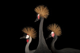 A Grey Crowned Crane with a Pair of Vulnerable West African Black-Crowned Cranes. Fotografisk tryk af Joel Sartore