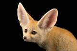 Three, Ten Week Old Fennec Fox Kits, Vulpes Zerda, at the Saint Louis Zoo. Fotografisk tryk af Joel Sartore